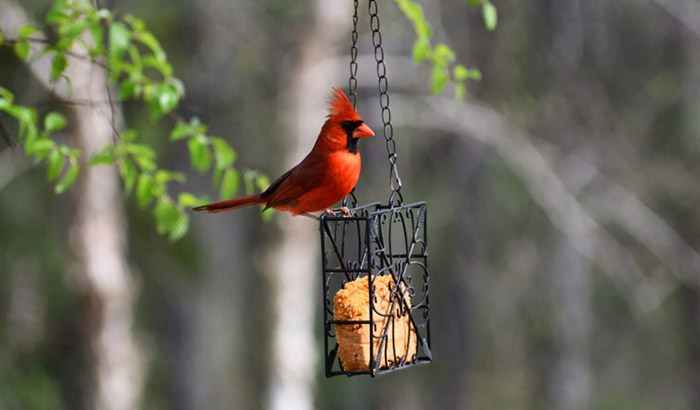 best feeder for cardinals