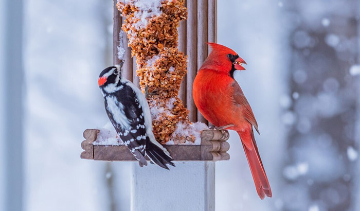 caged bird feeders for cardinals